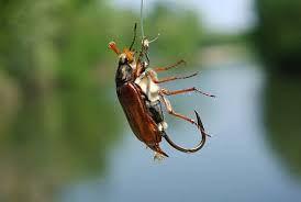 Майский жук на крючке