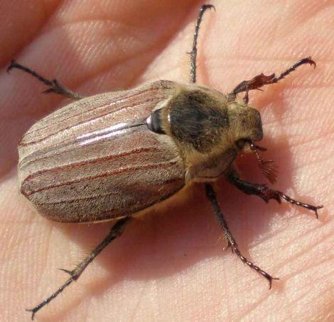 Ловля на майского жука