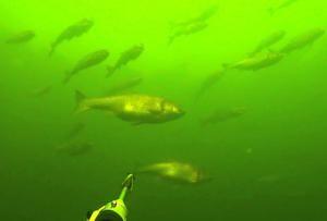 стая толстолобиков под водой