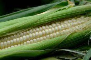 что клюет на сырую кукурузу