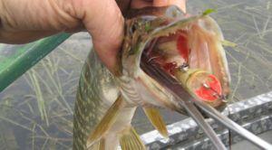 Изъятие крючка из рыбы