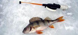В выпуске вы ознакомитесь с видео ловли окуня на балду зимой