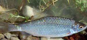 Зимняя ловля плотвы - особенности поведения рыбы