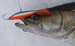 Выбор снастей для ловли судака зимой, тактика ловли