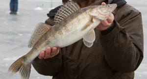 При соблюдении правил отвесного блеснения зимняя рыбалка на судака принесет массу удовольствия