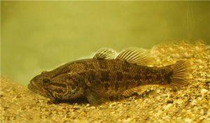 Успех рыбалки на ротана зимой зависит от особенностей его поведения