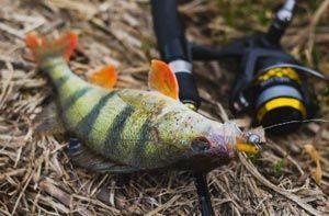 Ловля окуня на микроджиг - особенности поведения рыбы