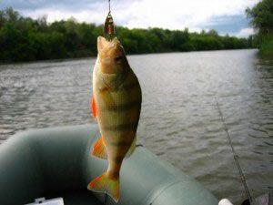 Ловля окуня на спиннинг - как получить улов осенью