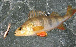 Зимняя рыбалка на окуня на балансир зимой - рекомендации новичкам
