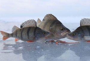 Ловля окуня зимой - видео руководство по разным методам